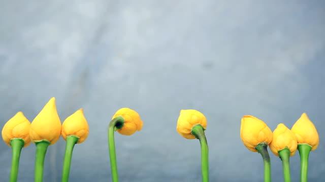 vídeos y material grabado en eventos de stock de tulipanes flores de color amarillo, amarillo - narrating