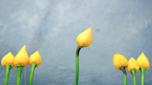 黄色の花、黄色のチューリップ - 社会史点の映像素材/bロール