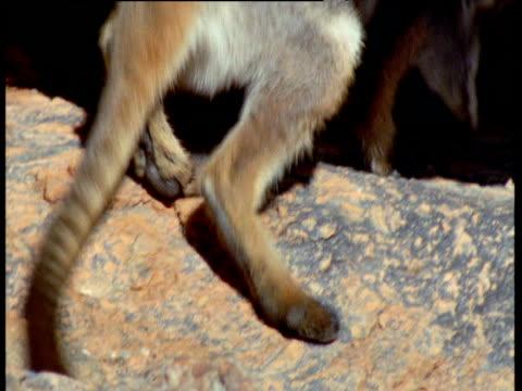 vidéos et rushes de yellow footed rock wallaby rests in shade under boulder, flinders range, south australia - boulder rock