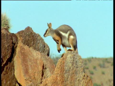 yellow footed wallaby hops along ridge against blue sky, flinders range, australia - chroma key stock videos & royalty-free footage