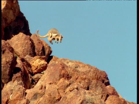 yellow footed wallaby with joey, hops down ridge against blue sky, flinders range, australia - babyhood stock videos & royalty-free footage