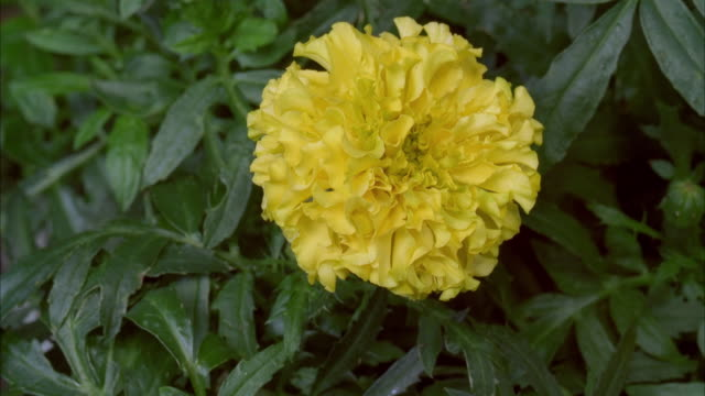 Yellow pom pom flowers videos and b roll footage getty images tl cu yellow french marigold tagetes patula growing mightylinksfo