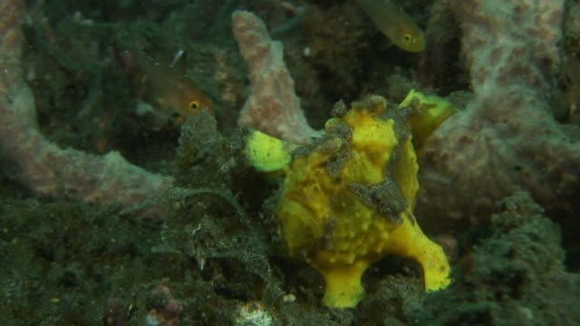 yellow frogfish feeding - medium group of animals stock videos & royalty-free footage