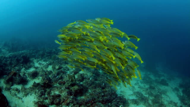 Yellow Fusilier On The Reef