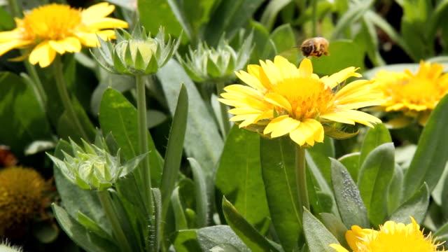 yellow gazania gerbera flower