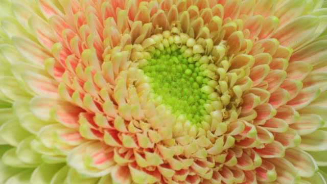 yellow gerbera flower blooming 4k - sunflower stock videos and b-roll footage