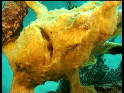 Yellow Giant Frogfish on wreck leaning sideways, Mabul