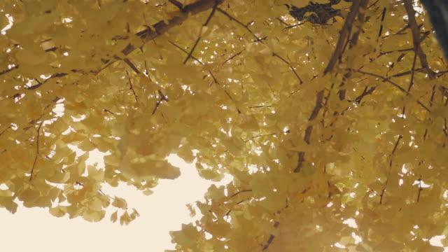 gelbe ginkgo blätter im herbst - ginkgobaum stock-videos und b-roll-filmmaterial