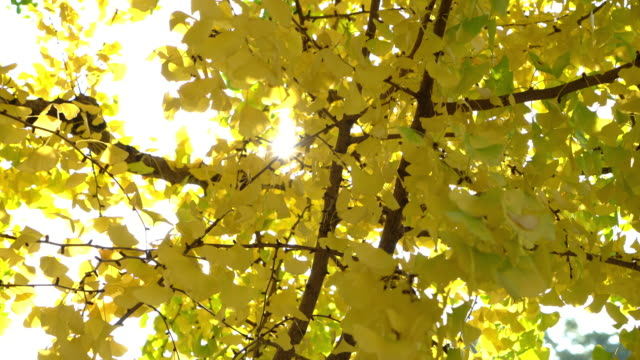 yellow ginkgo leaves - kamikawa subprefecture stock videos and b-roll footage