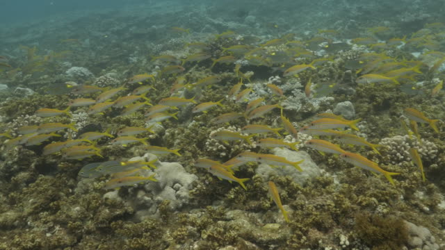 yellow goatfish and goldspot seabream fish schooling at undersea coral reef - goatfish stock videos & royalty-free footage