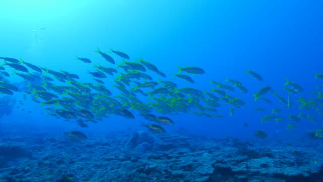 yellow goatfish and sea bream fish - goatfish stock videos & royalty-free footage