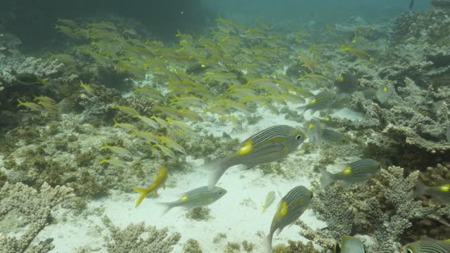 yellow goatfish (mulloidichthys martinicus) schooling at coral reef, ogasawara islands - goatfish stock videos & royalty-free footage