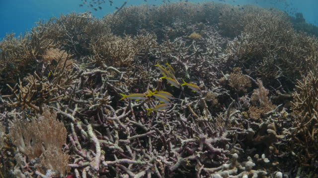 yellow goatfish schooling in coral reef - goatfish stock videos & royalty-free footage