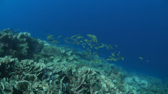 yellow goatfish schooling in coral reef - triglia tropicale video stock e b–roll