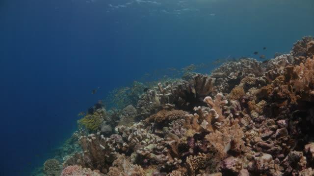 yellow goatfish schooling undersea at coral reef - goatfish stock videos & royalty-free footage