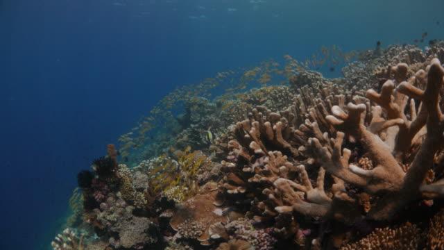 yellow goatfish schooling undersea in coral reef - goatfish stock videos & royalty-free footage