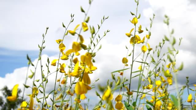 campo di fiori di canapa gialla nella giornata di sole. - canapa video stock e b–roll
