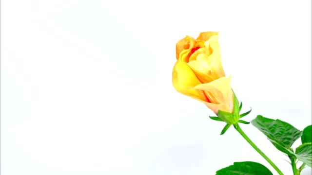 gelber hibiskus blumen - eibisch tropische blume stock-videos und b-roll-filmmaterial