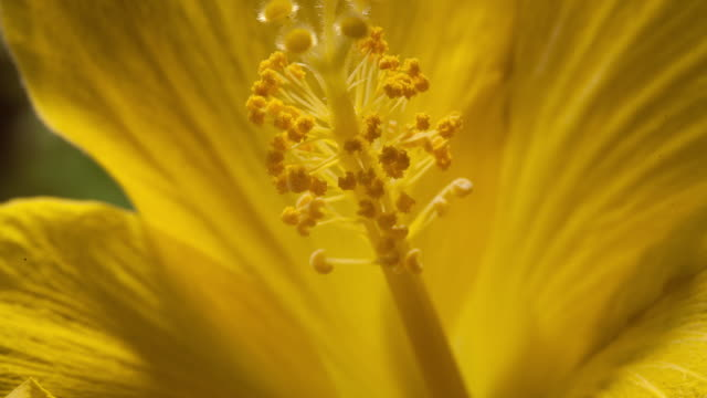 yellow hibiscus flower stamen growing - stamen stock videos and b-roll footage