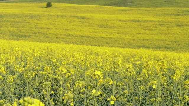 yellow hills with flowering canola oil on sunny spring day. oilseed rape flowers and flying insects - rapeseed oil stock videos and b-roll footage