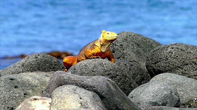 yellow iguana on rocks in galapagos. no audio - ガラパゴスリクイグアナ点の映像素材/bロール