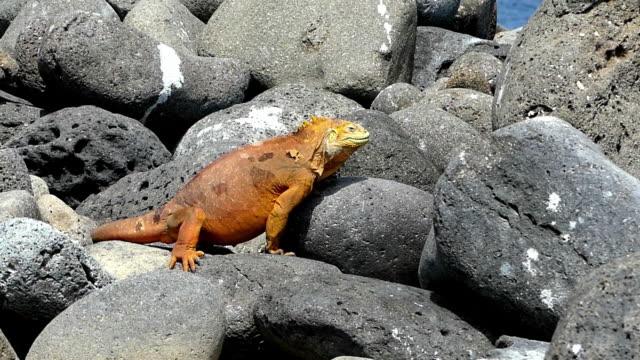 yellow iguana on rocks in galapagos - ガラパゴスリクイグアナ点の映像素材/bロール