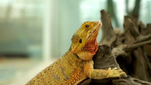 yellow iguana - iguana stock videos & royalty-free footage