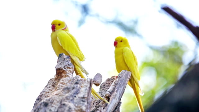 yellow indian ringneck parrot - osservare gli uccelli video stock e b–roll