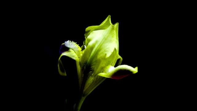 vidéos et rushes de fleurs d'iris jaune sur fond noir - fantaisie
