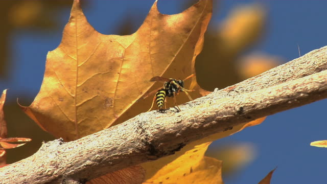 yellow jacket on branch - invertebrate stock videos & royalty-free footage