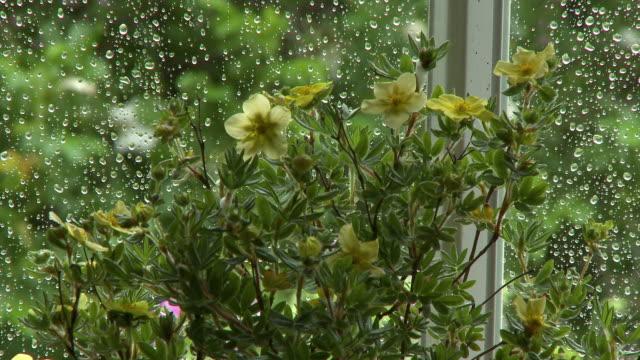 vídeos y material grabado en eventos de stock de yellow jasminum flowers - pistilo