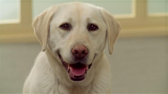 CU, Yellow Labrador at home