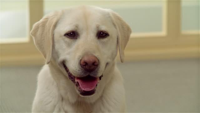 ZI, CU, Yellow Labrador at home