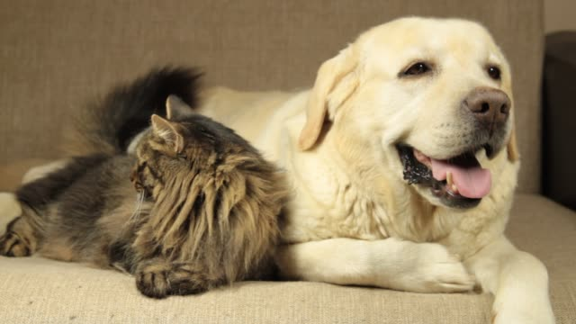 yellow labrador dog and tabby cat - retriever stock videos & royalty-free footage