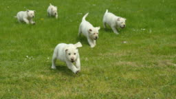 Yellow Labrador Retriever, Group of Puppies running on the Lawn, Normandy in France, Slow Motion 4K