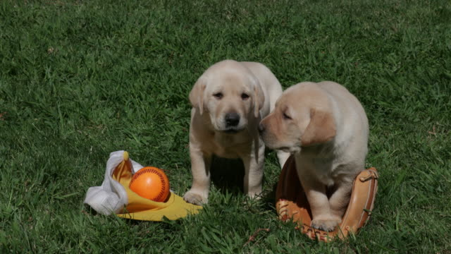 Yellow Labrador Retriever puppies with baseball equipment