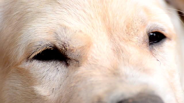 Yellow Labrador Retriever Puppy Eyes