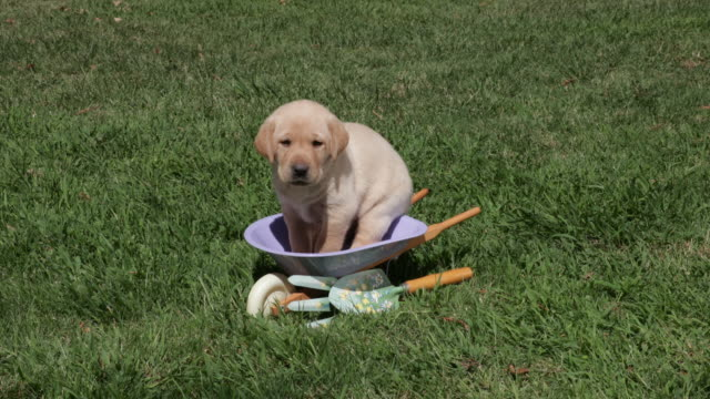 Yellow Labrador Retriever puppy standing in toy wheelbarrow
