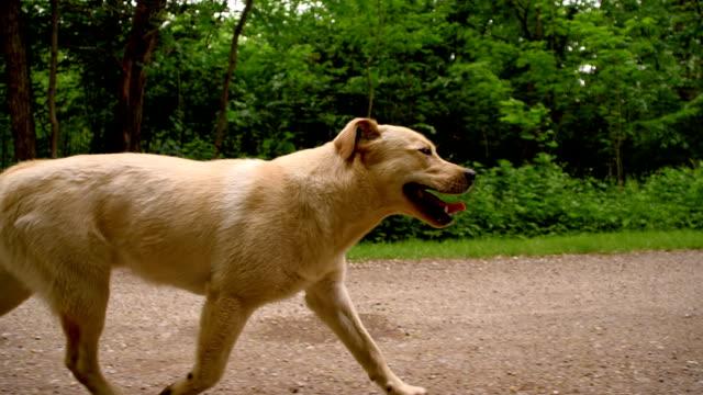 SLO MO Yellow labrador retriever laufen auf ein dirt road