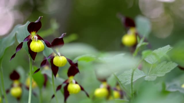 yellow lady's slipper, cypripedium calceolus, germany - bedrohte tierart stock-videos und b-roll-filmmaterial