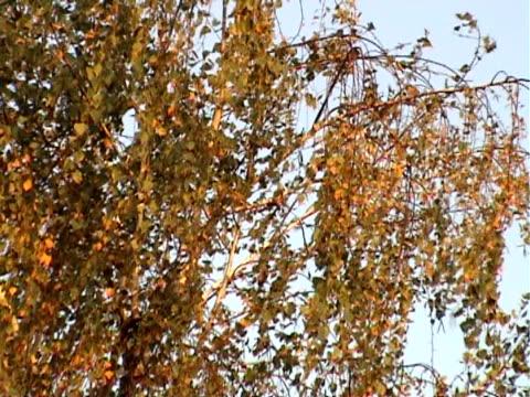 vidéos et rushes de feuilles jaunes en automne - arbre à feuilles caduques