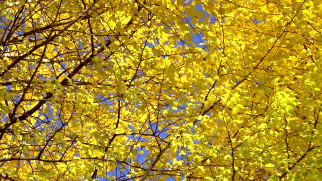 vídeos de stock, filmes e b-roll de amarelo folhas de ginkgo - plusphoto