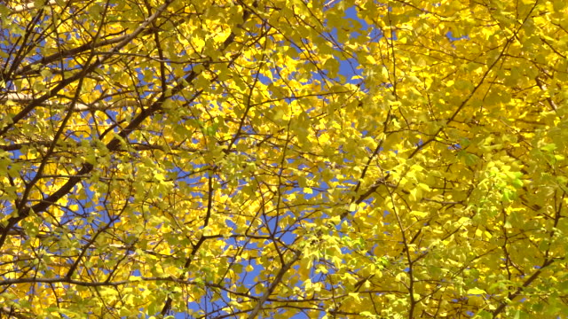 Yellow leaves of ginkgo