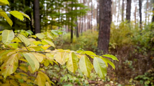 yellow leaves on branch. - copse stock videos and b-roll footage