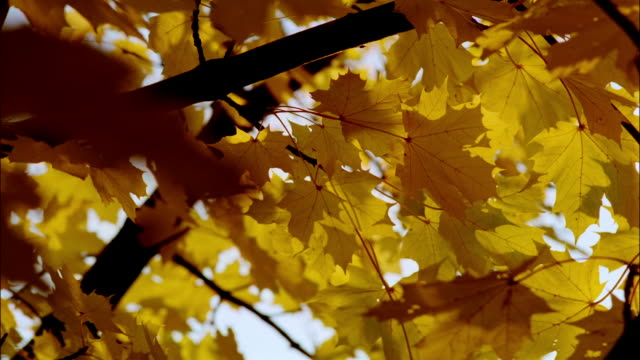 yellow leaves on maple tree wave in the breeze. - maple tree stock videos and b-roll footage
