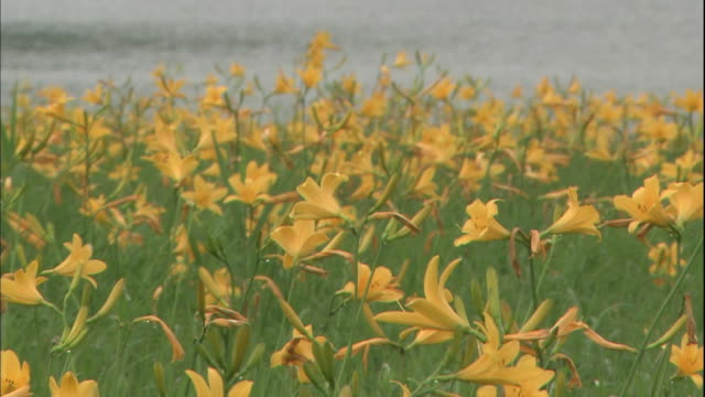 vídeos de stock e filmes b-roll de yellow lilies sway in the breeze at the community of daylily in fukushima-ken kitashiobara-mura, japan. - focagem no primeiro plano