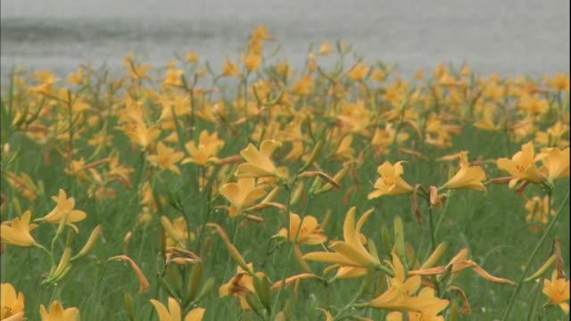 Yellow Lilies sway in the breeze at the Community of Daylily in Fukushima-ken Kitashiobara-mura, Japan.