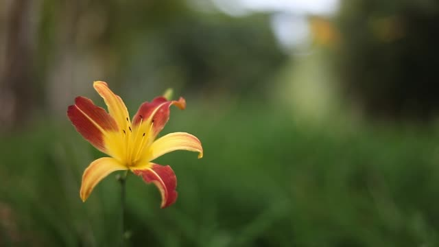 yellow lily in the garden with red petals - vertical stock videos & royalty-free footage