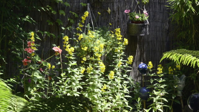 MS Yellow Lysimachia vulgaris and other flower flowering in garden / Landshut, Bavaria, Germany