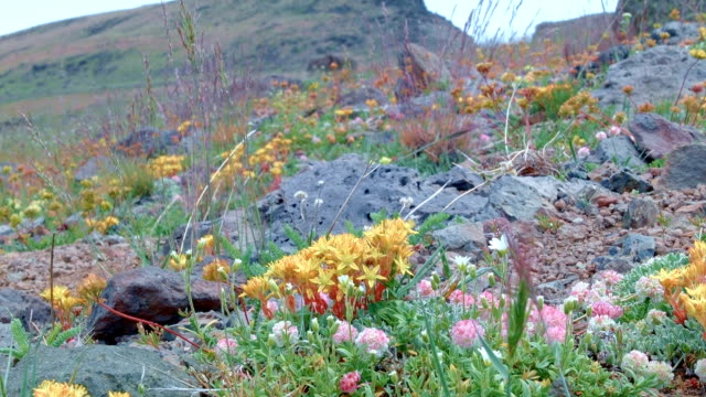 Yellow macro wildflowers Summit Steens Mountain Near Malhuer Wildlife Refuge 25